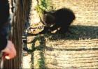 Noor vene karu püüab oheliku otsast vabaks rabeleda Neeva kaldal pargis.