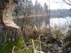 Esimene puu, mille hambapastat reklaamiv loom oli teravate kihvadega ära järanud. Koht: Jussi järved, Linajärv.